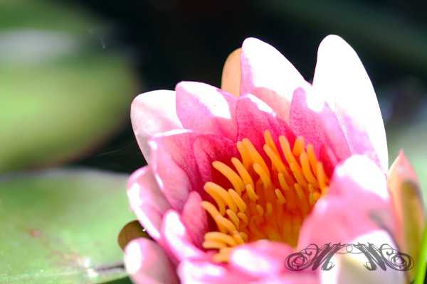 Gartenteich Seerosen (Sommer 2010)