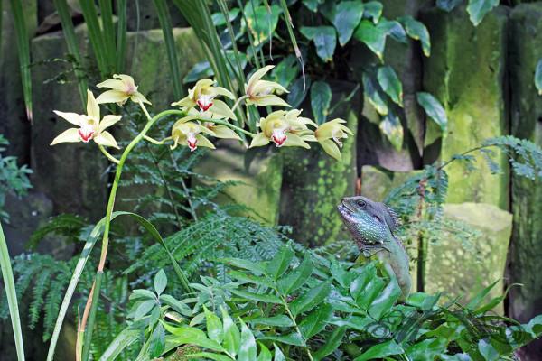 Agame neben Orchidee (Palmengarten 2014)