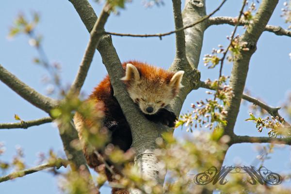 Tier schläft im Baum (Opel-Zoo 2014)