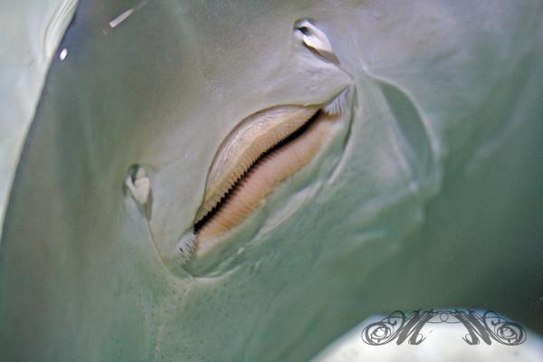 """""""Tanzender"""" Rochen im Sea Life Speyer"""